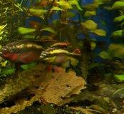 Пельвикахромис пульхер  (рыба попугай)