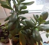 Денежное дерево(толстянка)