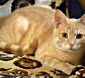 Персиковый котенок-подросток