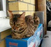 Бенгал кошка бенгальская