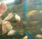 Цихлиды рыбки аквариумные