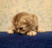 Котята вискас (шотландские)