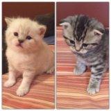 Шотландские котята  девочка и мальчик.