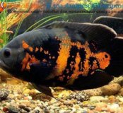 Астронотус рыбки