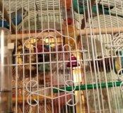 Попугаи самка самец  срочно