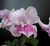 Стрептокарпус (цветет похоже как на фото)