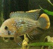 Акара бирюзовая аквариумная рыбка