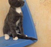 Котенок от русской голубой