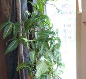 Домашнее растение Сингониум