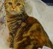 Высокопородная кошка шоколадная