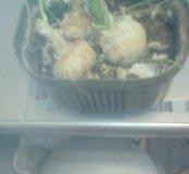 Китаийский чеснок