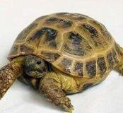 Сухапутная черепаха