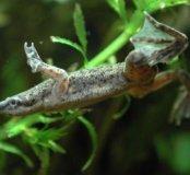 Лягушка аквариумная