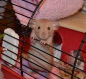 Крыса домашняя