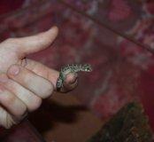 Гадюковый геккон
