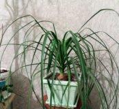 Тропическое растение Нолина