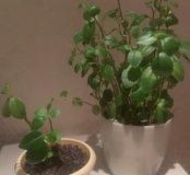 Пеперомия взрослое растение и отростки