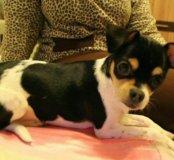 Чихуахуа девочка щенок