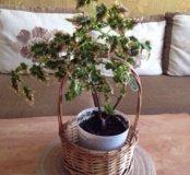 Цветок Колеус Крапивка
