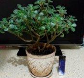 Дерево любви -аихризон