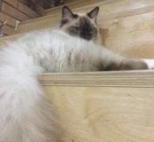 Пропал кот белый с зелёным пятном под хвостом