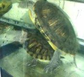 Красноухие черепахи с террариумом