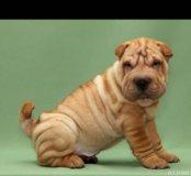 Собака Шарпей( щенок)