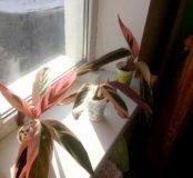 Цветок строманта