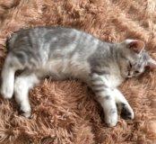 Шотландский котишка!!!