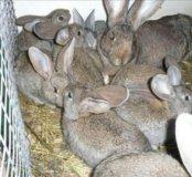 Молодые кролики на племя