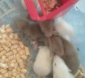 Продам крысят сиамцы и бурмизы