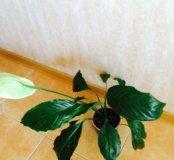 Спатифиллюм цветок