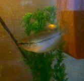 Три рыбки гурами
