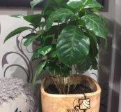 Комнатное растение кофе Арабика