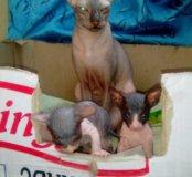 Сфинкс донской котята !!!!
