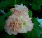 Пеларгония ragers pink