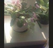Растение цветок фиалка