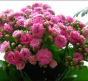 Растение каланхое декоративный