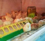 цыплята яичных кроссов