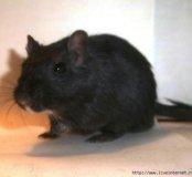 Мышки песчанки