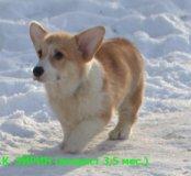 Вельш корги пемброк щенки