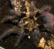 Phormictopus auratus L3