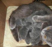 Открыта резервация на вислоухих котят 8марта