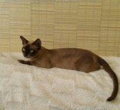 Кошечка бурманская шоколадная