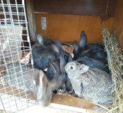 Фландрики 3.5мес самцы!!!!