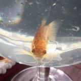 Гурами. Рыбка в аквариум. Взрослая. Самец.
