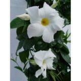 Дипладения белая крупноцветковая