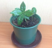Кофейное дерево (ростки)