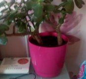 Толстяка денежное дерево