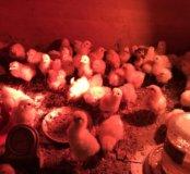 Цыплята Недельные несушки
